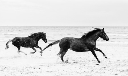 Two brown horses running fast on the seashore. Freedom and wildness. Galopade. Black and white photography.