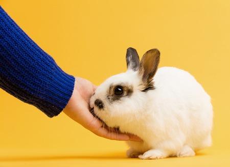Hand petting white rabbit on yellow background. Domestic animal, furry pet.
