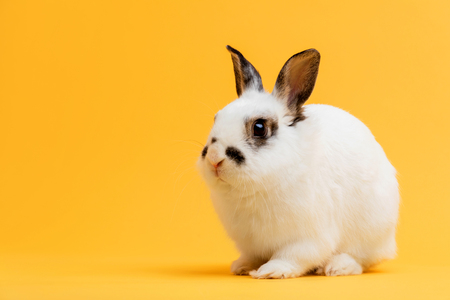 Little bunny sitting on yellow background. Domestic animal, pet. Copyspace.
