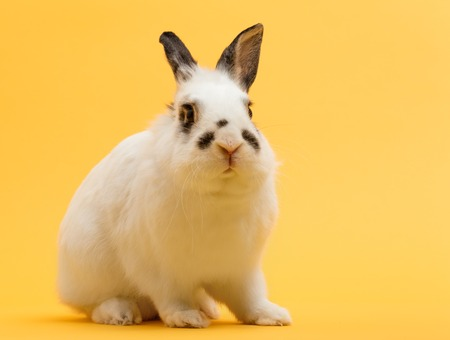 Rabbit sitting on yellow background. Domestic animal, happy pet. Symbol of spring and Easter. Copyspace. Stock Photo