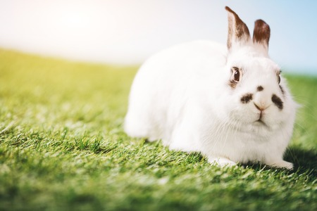 White rabbit laying on green grass. Symbol of spring, domestic animal, pet. Easter.