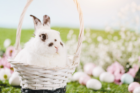White rabbit sitting in Easter basket. Traditional Easter holiday, spring. Funny furry pet.