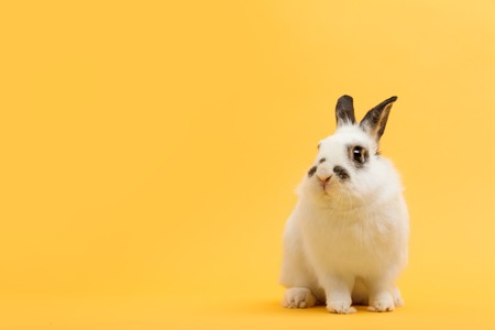 White rabbit on yellow background. Domestic animal, pet. Copyspace. Spring, Easter.