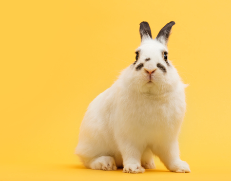 White rabbit on yellow background. Domestic animal, pet. Symbol of spring, Easter. Copyspace. Stock Photo