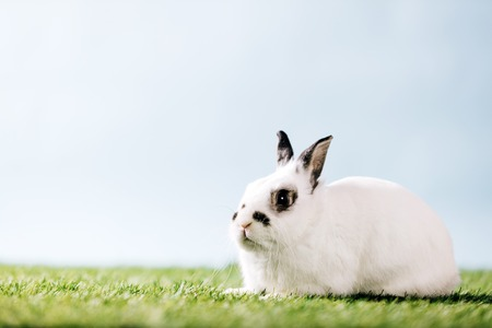 White rabbit laying on green meadow. Domestic animal, furry pet. Spring season.