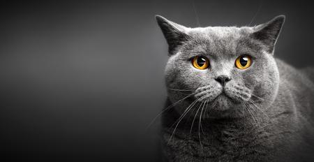 Portrait of British shorthair cat on black background. Portrait of domestic animal. Purebred cat. Close-up. Stock Photo