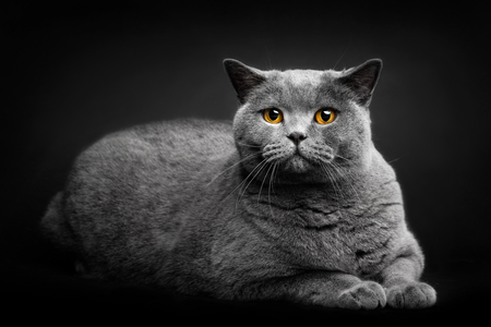 Grey cat laying on black background. Domestic animal, British shorthair cat. Portrait.