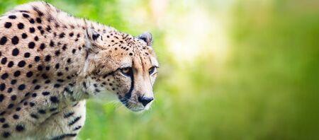 Cheetah looking alerted during hunting. Africa wildlife Zdjęcie Seryjne