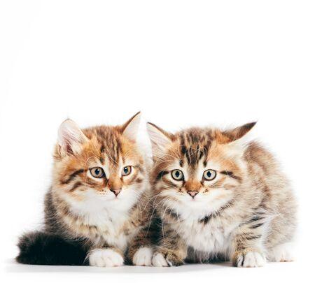Chats sibériens, portrait de deux chatons de la même portée isolés sur fond blanc. De race