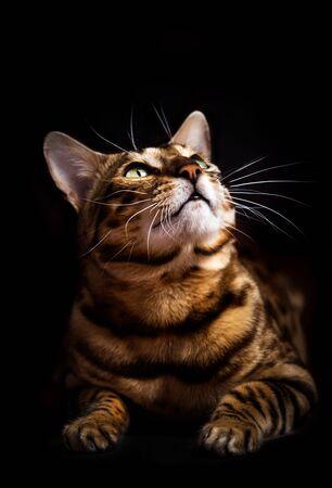 Retrato de gato de Bengala sobre fondo negro. Gato de raza pura, mirando hacia arriba.