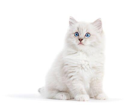 Ragdoll cat, small white kitten portrait isolated on white background.