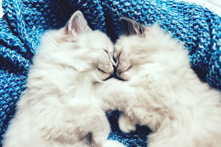 Two Ragdoll cats, small kittens sleeping together on blue blanket in funny pose. Siblings from the same litter. Zdjęcie Seryjne