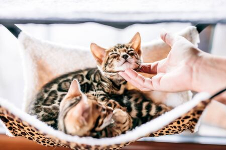 Young Bengal cat scratched under chin by a woman hand while resting on cat tree at home.