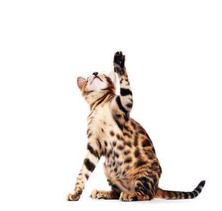 Gato de Bengala rascándose con su pata y mirando hacia arriba, aislado sobre fondo blanco.