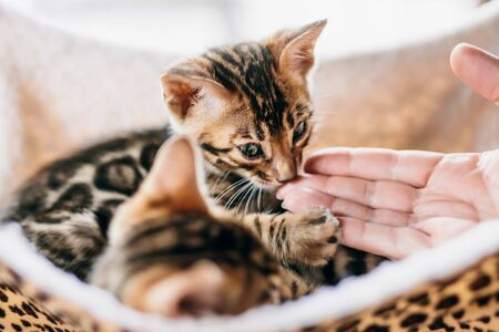 Young Bengal cat sniffing a woman hand while resting on cat tree at home. Purebred Imagens