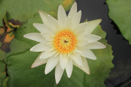 White lotus flower nectar and insects  photo