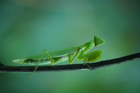 predatory insect: Mantis on the plant Stock Photo
