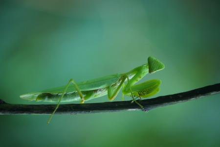 mantis: Mantis on the plant Stock Photo