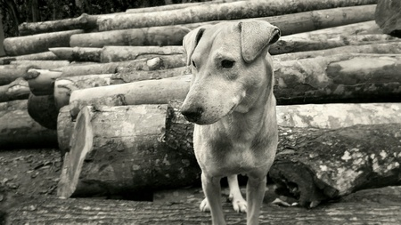 white dog: Pet dog standing in a timber log Stock Photo