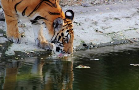 Tiger drinking water from a pool in the Hyderabad zoo