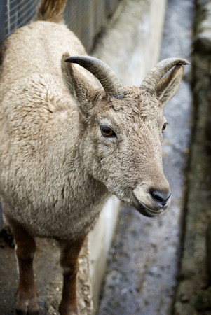 brown goat: Beautiful view of brown goat, close view Stock Photo