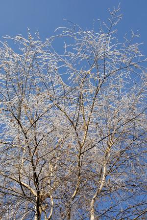 frozen trees: Beautiful view of frozen trees outside, winter