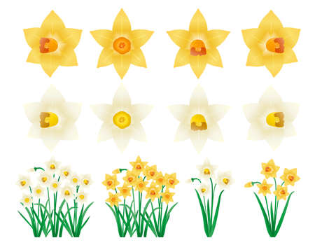 Yellow and white daffodil vector illustration. Blooming flowers. narcissus . Ilustração