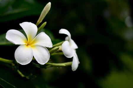 Plumeria flowers are beautiful.