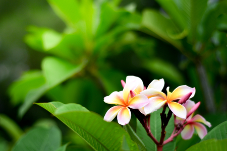 Pink plumeria flowers are blooming in the background. Banco de Imagens