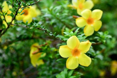 Yellow Allamanda flower in the background