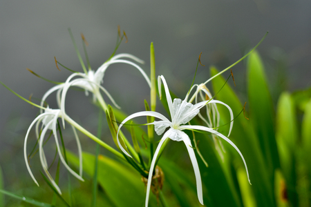 White spider lily flower grows naturally. Banco de Imagens