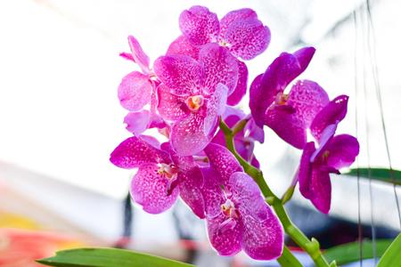 Flower Vanda Orchid, Beautiful purple orchid tree.