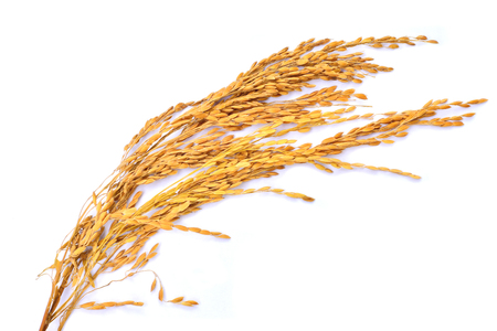 Ears of rice isolated on white background