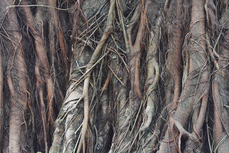 big tree root is naturally a beautiful background with very roots. Banco de Imagens