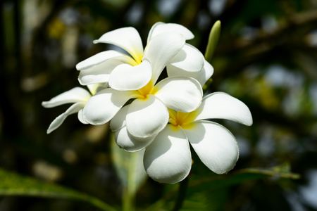 Plumeria flower with nature background flowers are white in the center of beautiful yellow.