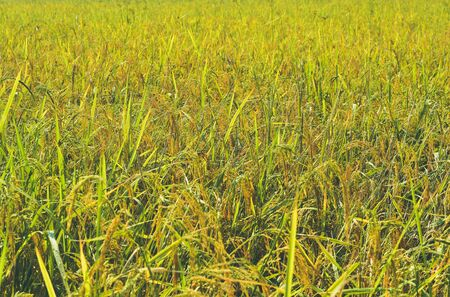 Rice fields in the Asian elephant, background rice.