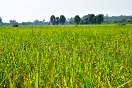 Rice fields in the Asian continent, beginning with rice.