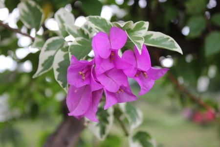 bougainvillea: bougainvillea flower