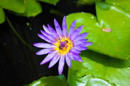 carpel: Purple Lotus Stock Photo