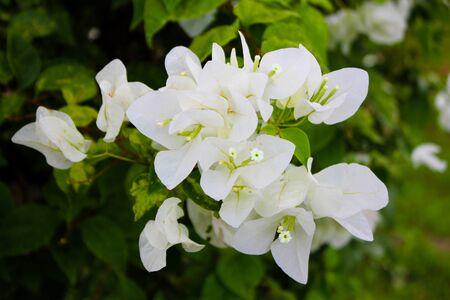 plantae: White Bougainvillea Flower