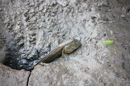 the amphibious: Mudskipper, Amphibious fish Stock Photo