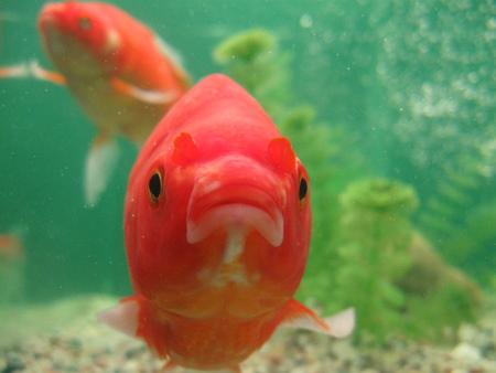 fish tank: goldfish Stock Photo