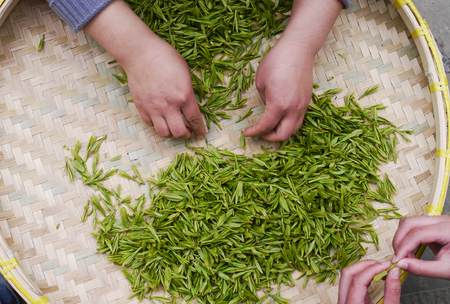 Pick tea leaves