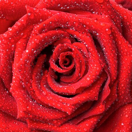 Exuberante rosa roja con fondo de gotas de rocío Foto de archivo