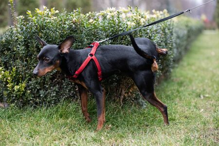 Miniature Pincher on the background of bushes and trees. The dog is urinating. Archivio Fotografico