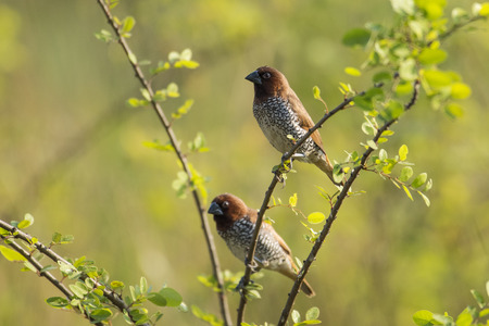 Pair of Scaly Breasted Munia Sitting on Branch Stock Photo