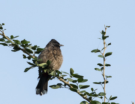 Common Bulbul in Brown Color Sitting on Branch Banco de Imagens