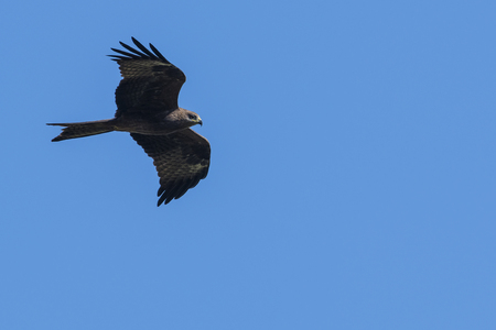 Black Kite in Flight Stock Photo