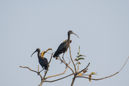 Pair of Immature  Glossy Ibis Sitting on Tree Top Stock Photo