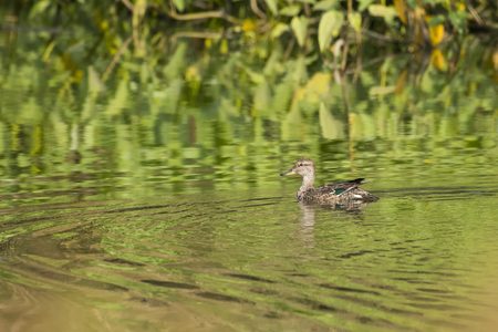 Female of Northern Shoveler Enjoying Swimming in Fresh Water Pond